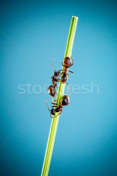 Három hangyák fut körül zöld penge Stock fotó © cookelma