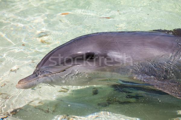 Delfin delfiny morza wody pływanie Zdjęcia stock © cookelma