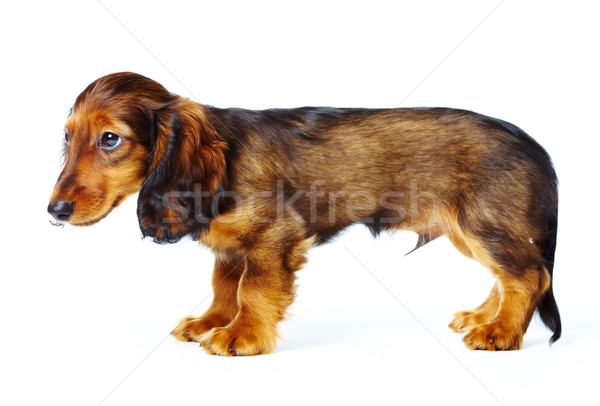 子犬 ダックスフント 白 犬 ペット 1 ストックフォト © cookelma