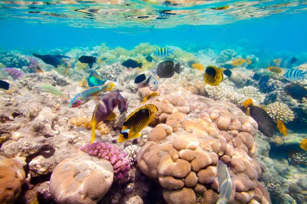 Stock fotó: Trópusi · korallzátony · Vörös-tenger · választék · puha · trópusi · hal