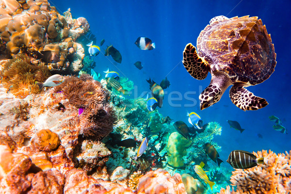Hawksbill Turtle - Eretmochelys imbricata Stock photo © cookelma
