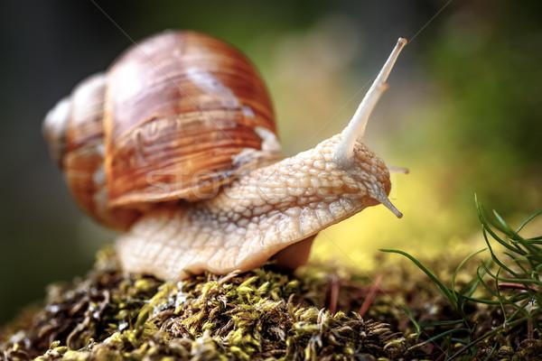 Helix pomatia also Roman snail, Burgundy snail Stock photo © cookelma