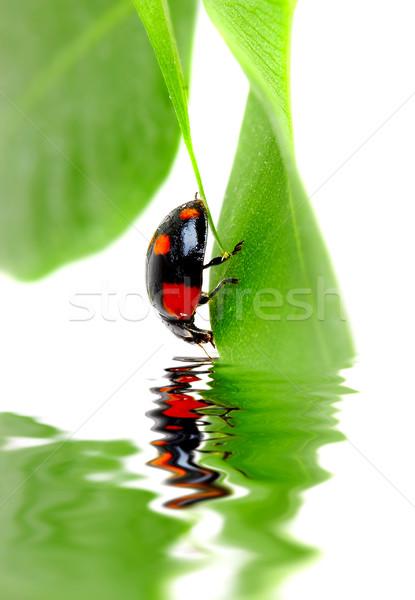 Kicsi rovar levél növény virág víz Stock fotó © cookelma