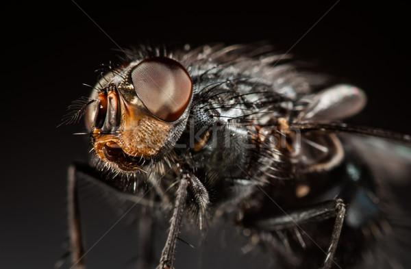 Housefly close-up. Stock photo © cookelma