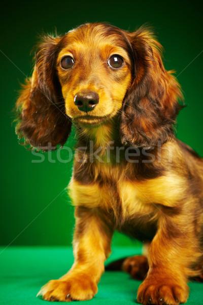 Puppy teckel groene dier cute een Stockfoto © cookelma