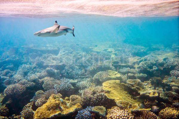 Trópusi korallzátony választék puha cápa fókusz Stock fotó © cookelma