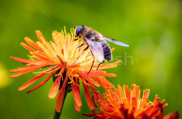 Ape nettare fiore natura sfondo estate Foto d'archivio © cookelma