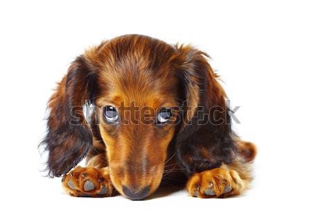 Сток-фото: щенков · такса · белый · собака · домашние · изолированный