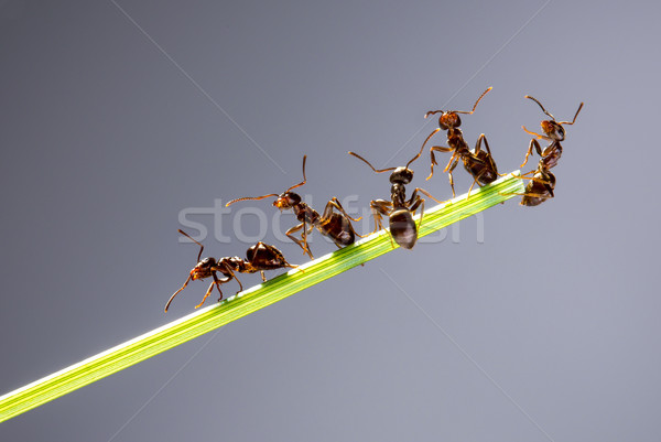 チーム アリ を実行して 周りに 緑 ブレード ストックフォト © cookelma