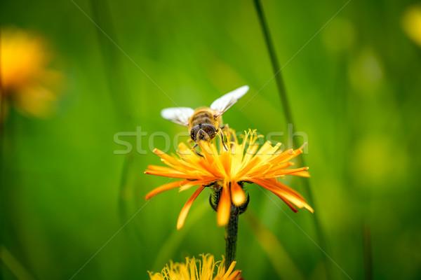 Darázs nektár virág tavasz természet háttér Stock fotó © cookelma