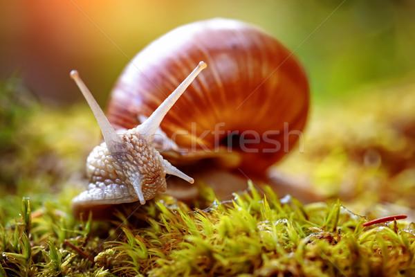 спираль римской улитки съедобный вид большой Сток-фото © cookelma