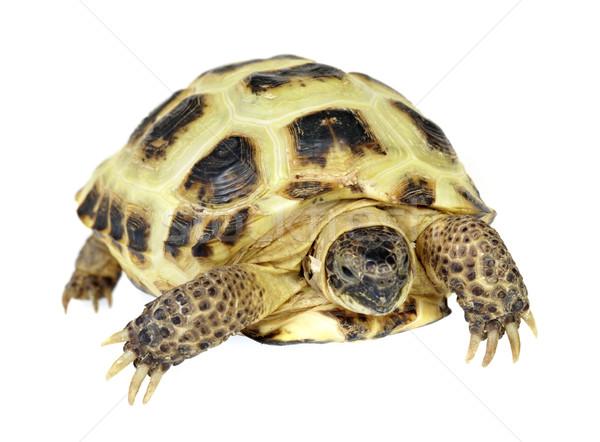 Photo of turtle on a white background Stock photo © cookelma