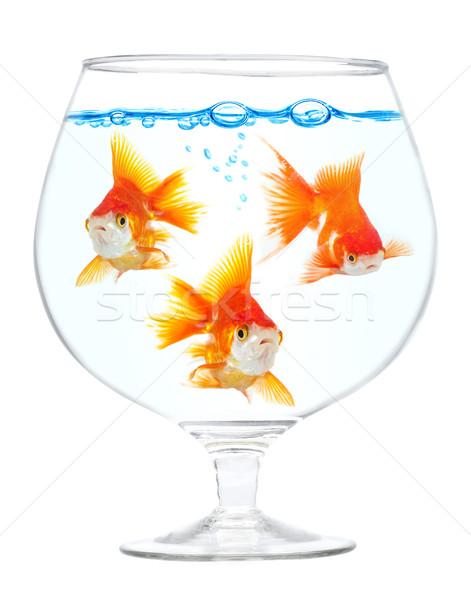 аквариум золото небольшой белый толпа Сток-фото © cookelma