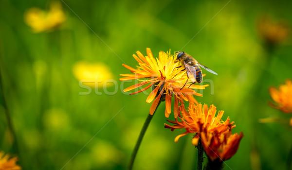 оса нектар цветок весны природы фон Сток-фото © cookelma