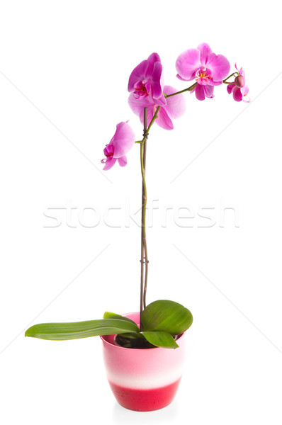 pink orchid Stock photo © cookelma