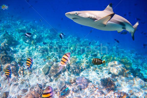 тропические коралловый риф разнообразие мягкой акула Focus Сток-фото © cookelma