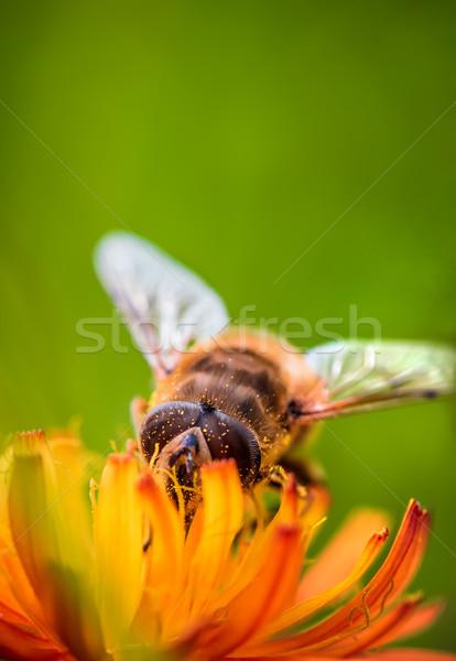 Pszczoła nektar kwiat charakter tle lata Zdjęcia stock © cookelma