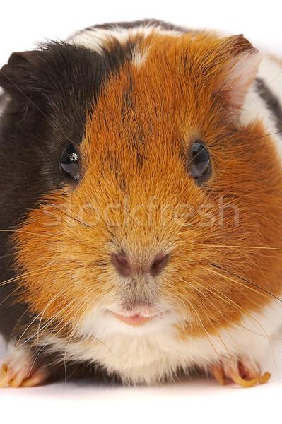 Portrait of a Guinea-pig. Macro a photo. Stock photo © cookelma