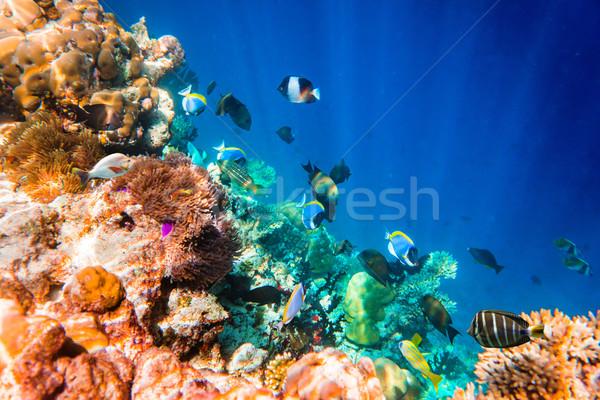 Tropicales variedad suave peces tropicales Maldivas Foto stock © cookelma