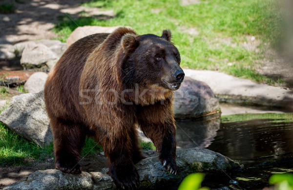 Brown bear (Ursus arctos) Stock photo © cookelma