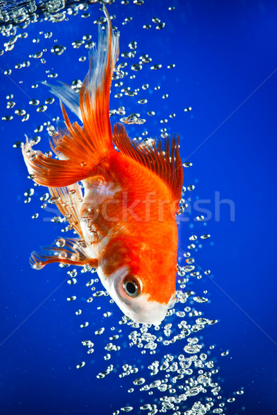 goldfish Stock photo © cookelma
