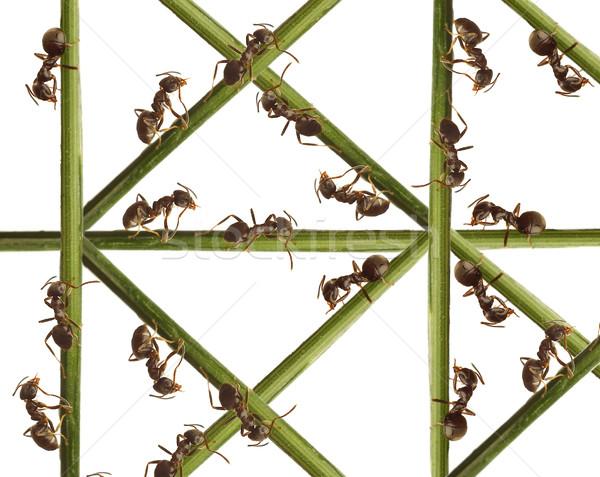 Formigas grama verde branco estrada natureza cabelo Foto stock © cookelma
