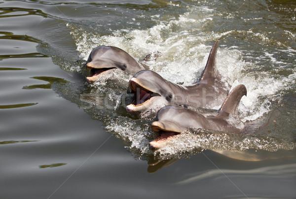 Delfiny trzy wody morza pływanie Zdjęcia stock © cookelma