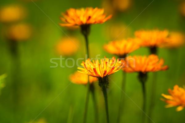 Soyut alpine çiçekler doğa park alpler Stok fotoğraf © cookelma