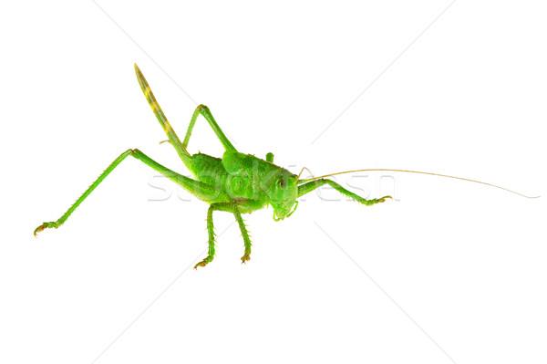 緑 グラスホッパー 白 ジャンプ 脚 昆虫 ストックフォト © cookelma