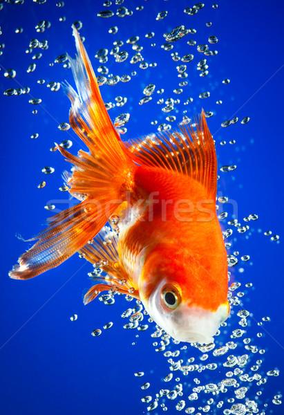 Goldfisch dunkel blau Wasser Fisch Natur Stock foto © cookelma