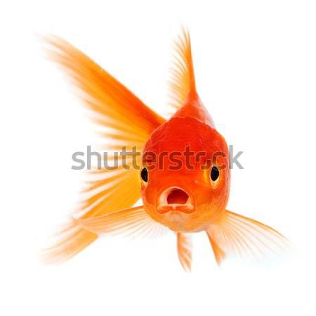 Goldfish золото рыбы изолированный белый природы Сток-фото © cookelma