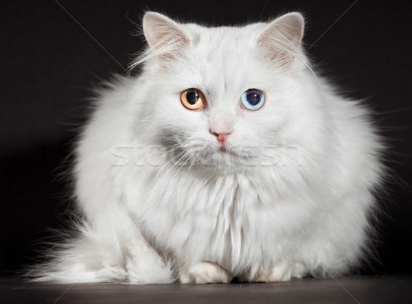 Foto stock: Olhos · branco · gato · retrato · beleza · azul