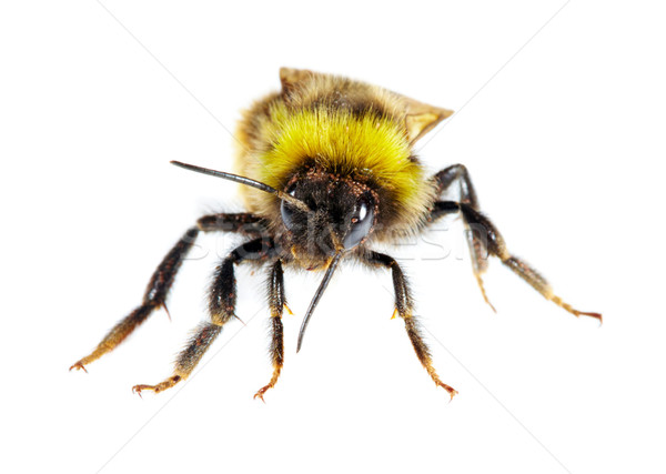 Abejorro blanco abeja animales antena ala Foto stock © cookelma