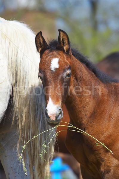 Foal Stock photo © cookelma