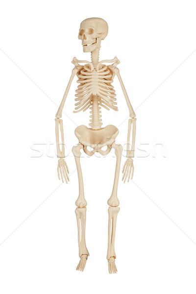 human skeleton Stock photo © cookelma