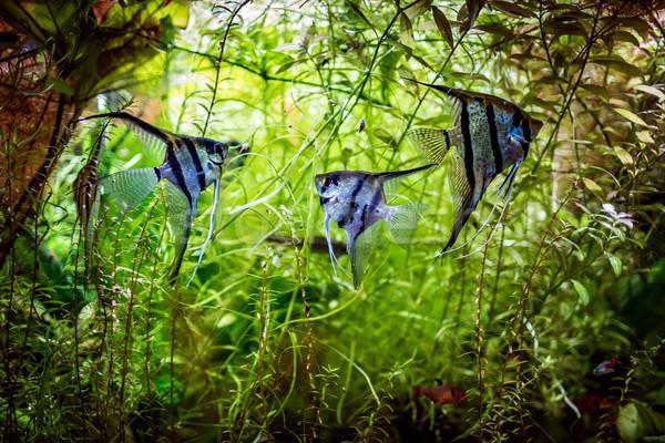 Stock photo: Angelfish Pterophyllum scalare