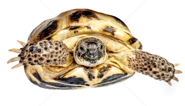 turtle Stock photo © cookelma