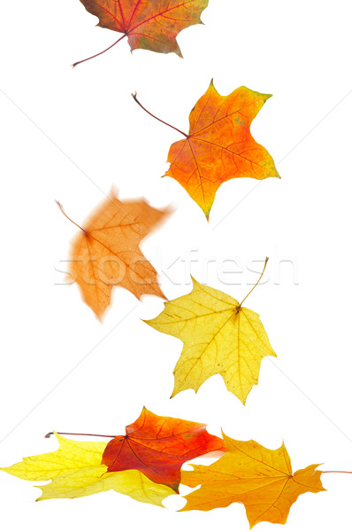 Maple leaves Stock photo © cookelma