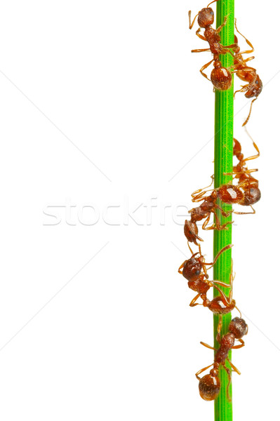 Hormigas hierba verde blanco carretera naturaleza pelo Foto stock © cookelma