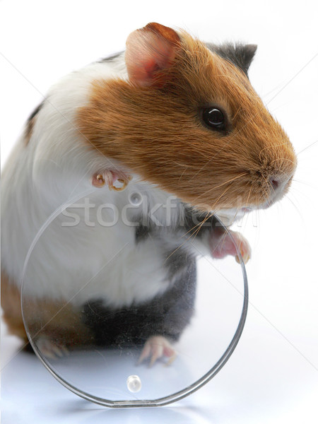 guinea-pig  Stock photo © cookelma
