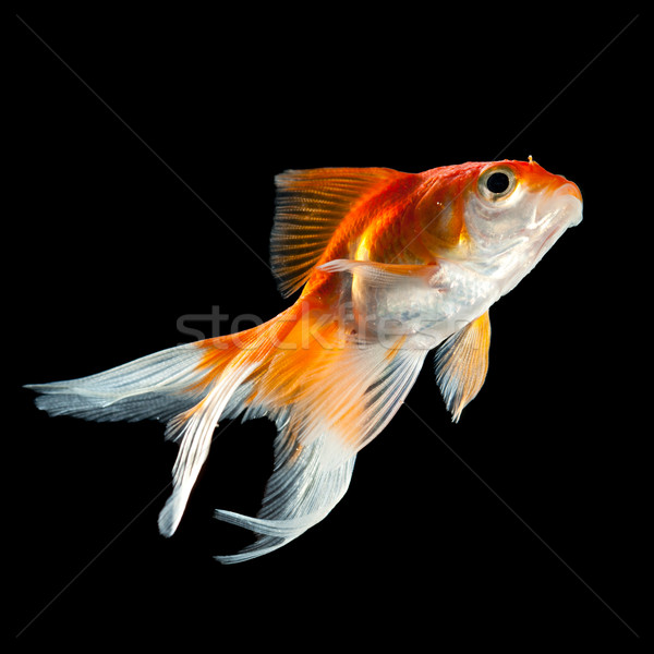 Goldfisch isoliert dunkel schwarz Fisch orange Stock foto © cookelma