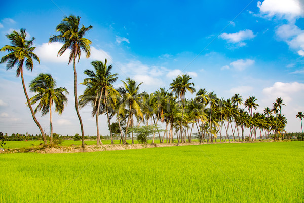 Paddy fields and palm trees Stock photo © cookelma
