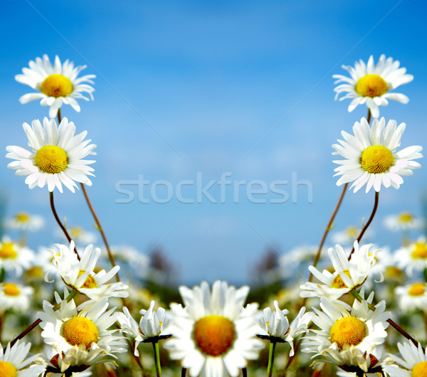ox-eye daisy Stock photo © cookelma