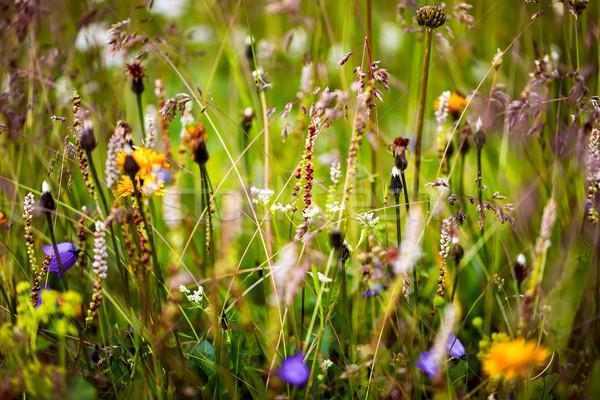 Abstract alpino fiori copia spazio primavera sfondo Foto d'archivio © cookelma