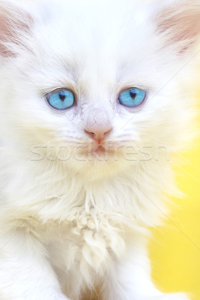 White kitten with blue eyes. Stock photo © cookelma