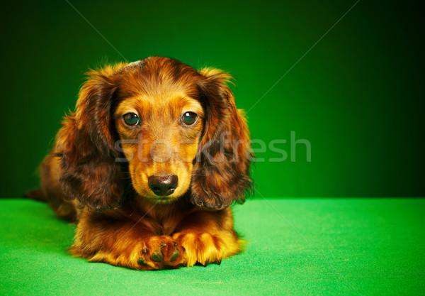 Kutyakölyök tacskó zöld állat aranyos egy Stock fotó © cookelma