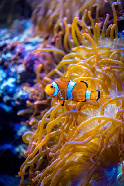 Anemonefish Stock photo © cookelma