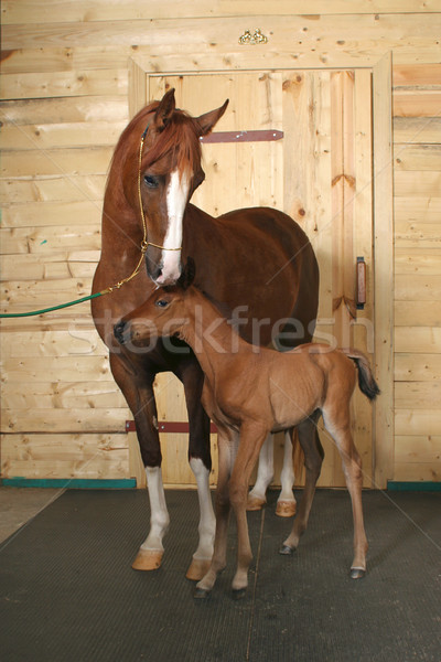 horse with a foal Stock photo © cookelma