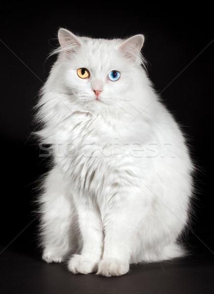 Augen weiß Katze Porträt Schönheit blau Stock foto © cookelma