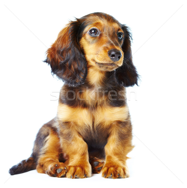 puppy dachshund Stock photo © cookelma
